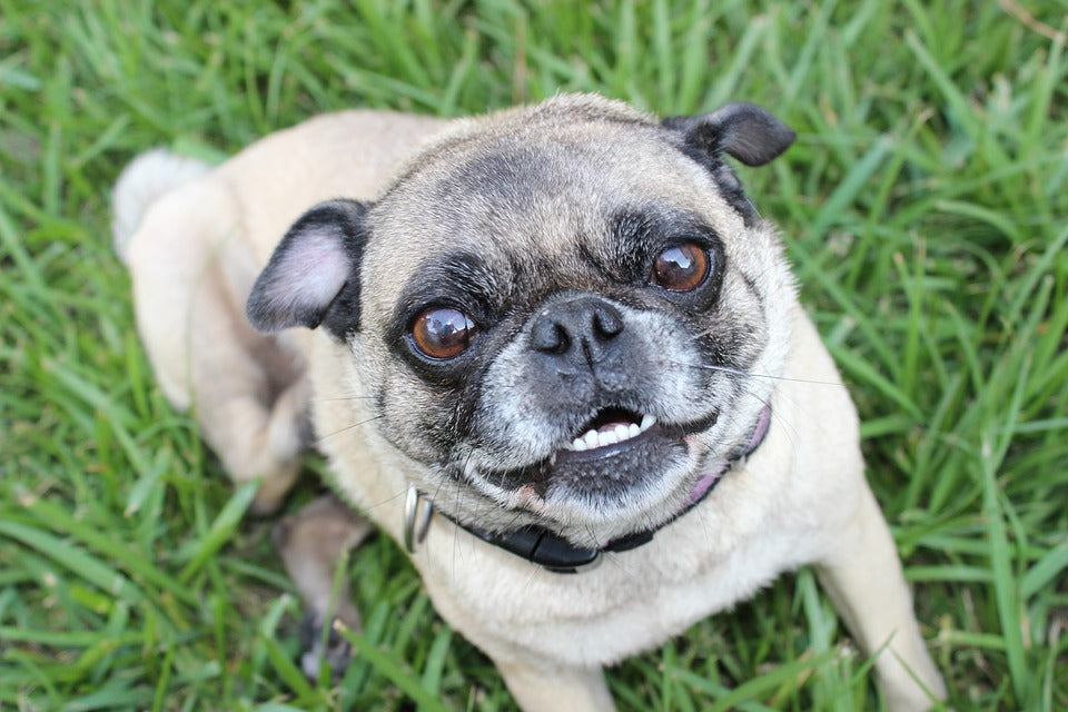 Pug sitting in grass senior dog smiling looking up