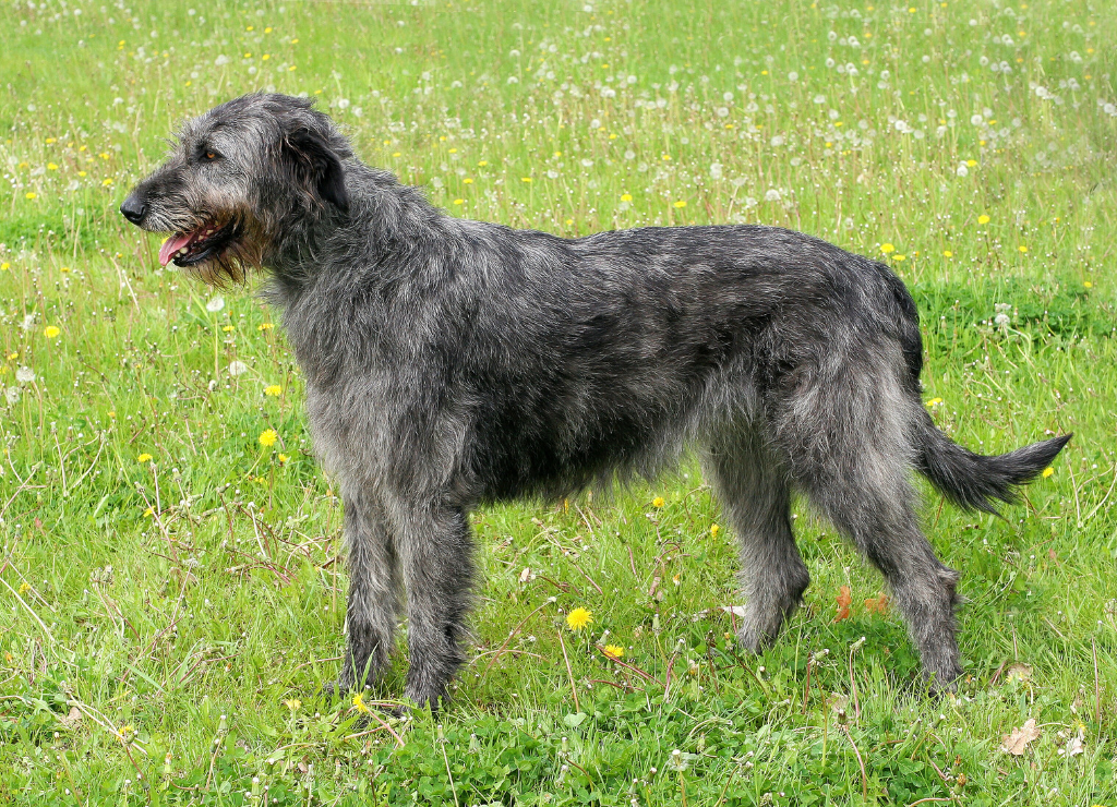 Scottish Deerhound dog standing outside in field grass flowers weeds