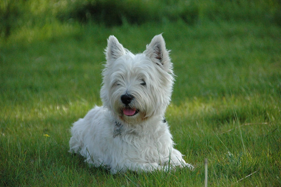 West Highland White Terrier dog lying in grass with tongue out