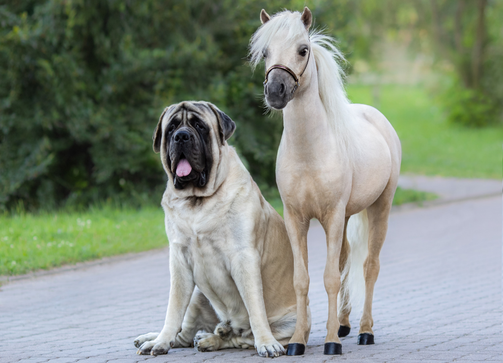 american mastiff sitting on ground next to small horse pony