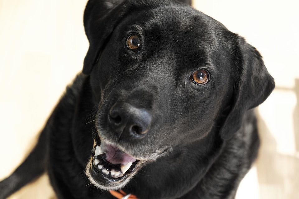 black labrador retriever looking up and smiling