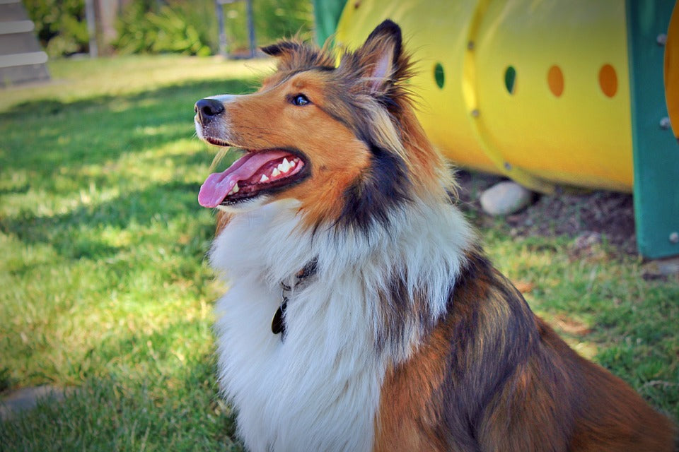 collie sitting near playground