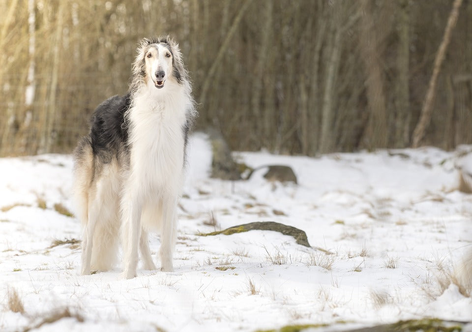 Borzoi dog standing outside in snow winter happy smiling