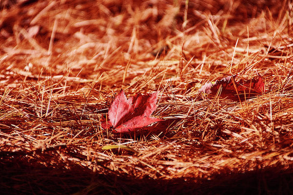 Fall In #canada - Reproduction artistique - 8.000 X 5.375 / Papier d'archives mat - Reproduction artistique