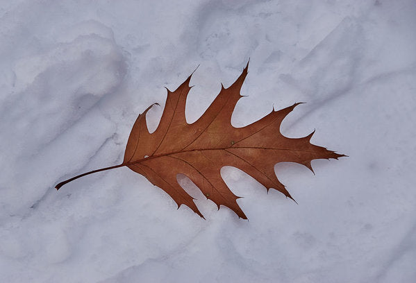 Leaf On The Snow - Art Print - 8.000 X 5.500 / Archival Matte Paper - Art Print