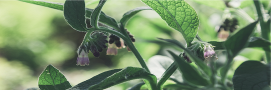 Do you know comfrey?