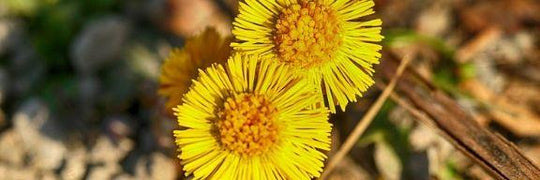 Do you know the coltsfoot?