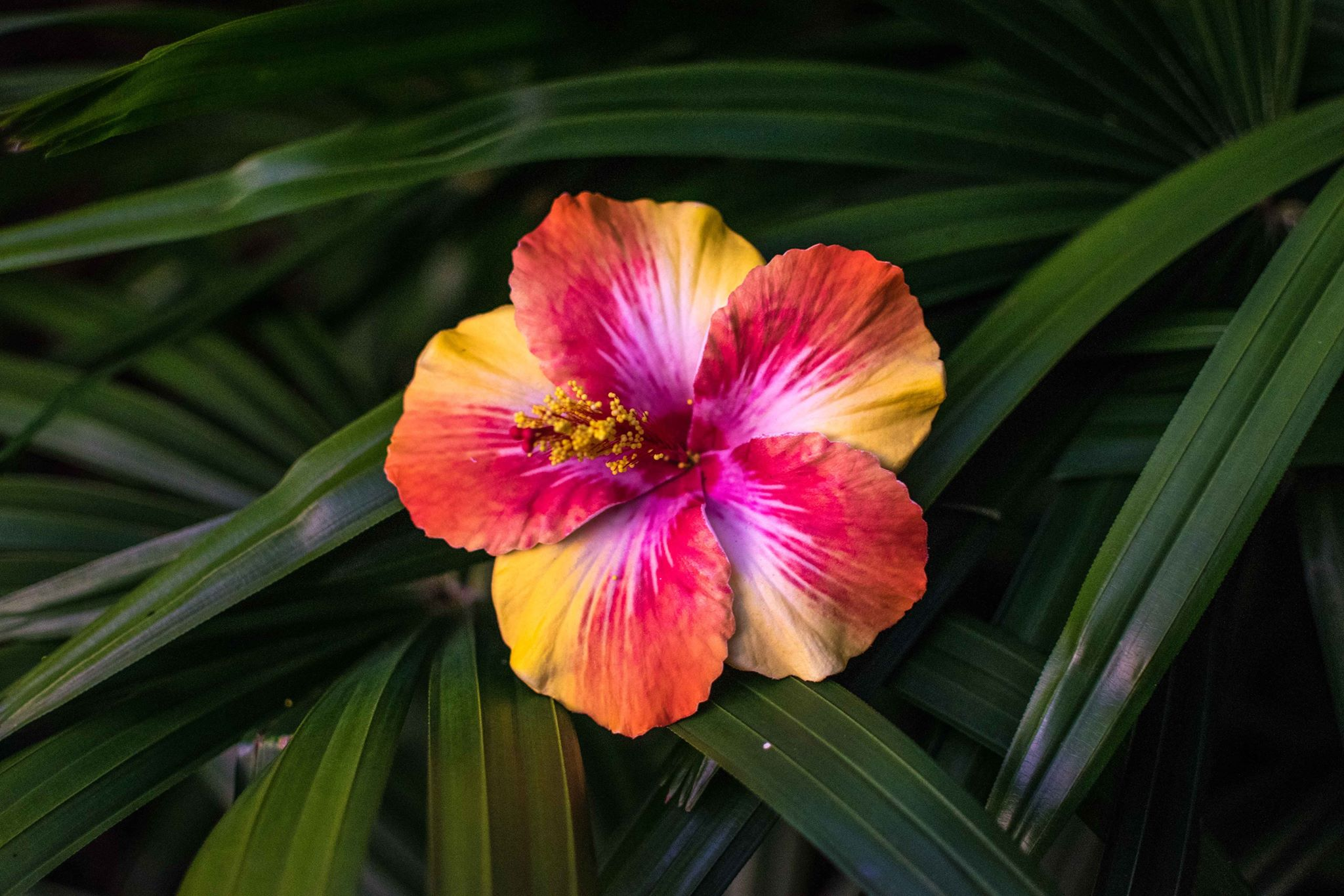Single Hibiscus Flower