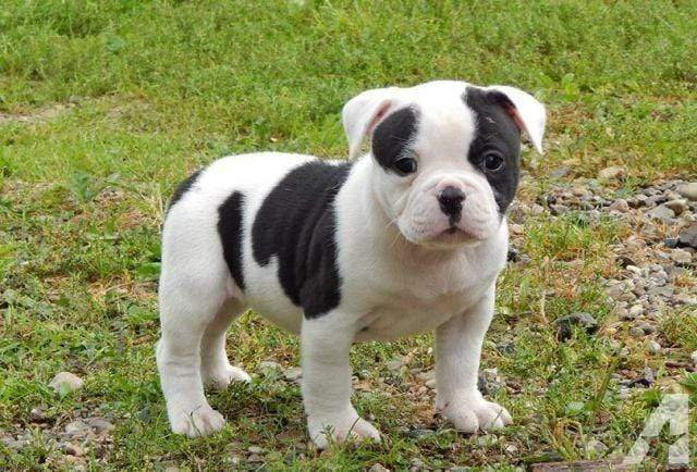 5D Diamond Painting American Bulldog Puppy Kit