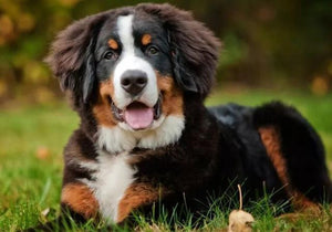 5D Diamond Painting Bernese in the Grass Kit