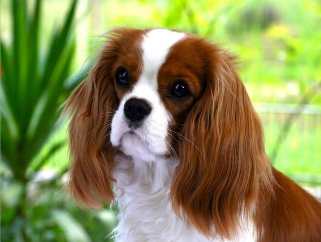 5D Diamond Painting Cavalier King Charles Spaniel By the Plants Kit