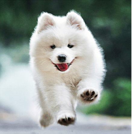 5D Diamond Painting Fluffy White Puppy Leaping Kit