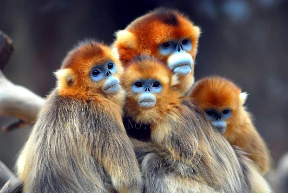 5D Diamond Painting Golden Monkey Family Kit