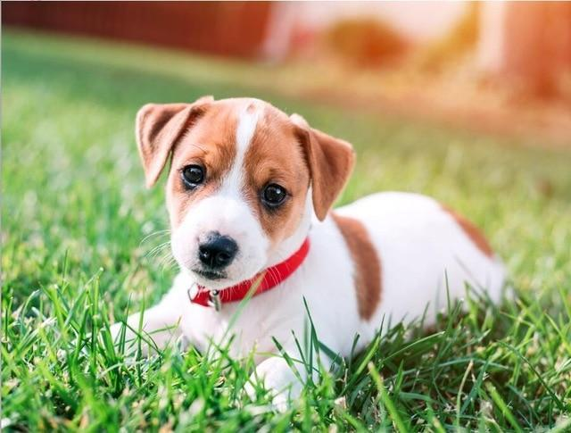 5D Diamond Painting Jack Russel Terrier Puppy Kit