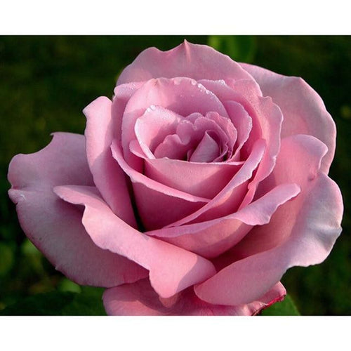 5D Diamond Painting Large Pink Rose Kit