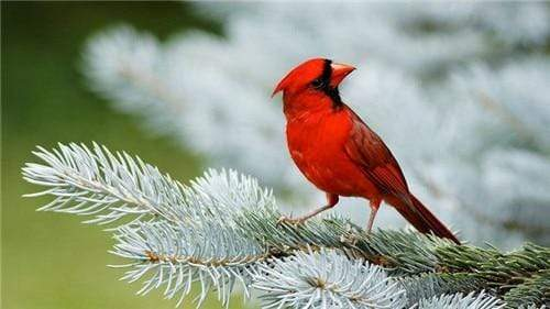 5D Diamond Painting Little Red Cardinal Kit
