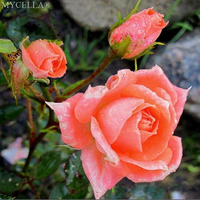 5D Diamond Painting Peach Roses Bush Kit