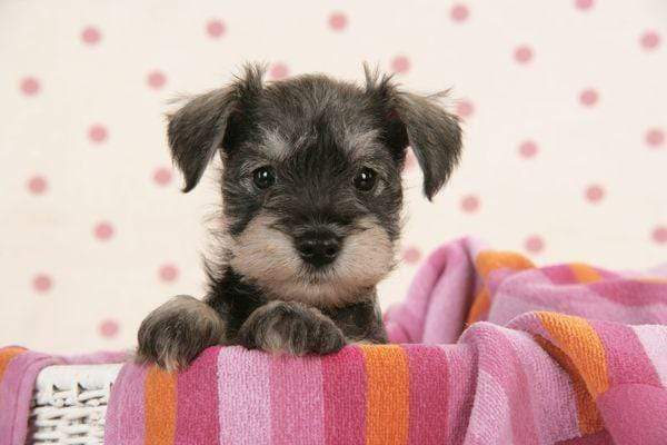 5D Diamond Painting Pink Blanket Miniature Schnauzer Kit