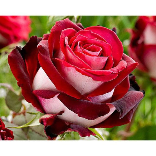 5D Diamond Painting Red and White Rose Kit