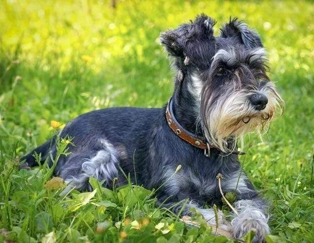5D Diamond Painting Schnauzer in the Grass Kit