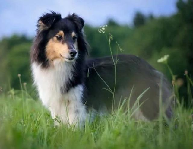 5D Diamond Painting Sheltie Collie in the Tall Grass Kit
