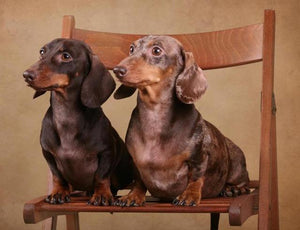 5D Diamond Painting Two Dachshund on a Chair Kit