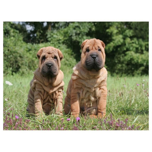 5D Diamond Painting Two Shar Pei in the Grass Kit