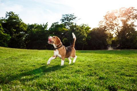 Beagle Running, Your Guide to Allowing Dogs in Your Coffee Shop