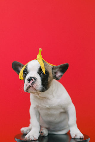 Dog with Banana, How to Make a Pup Cup for Your Coffee Shop