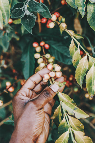 Black Person Harvesting Coffee Beans, The Black History of Coffee
