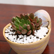 Sea Shell Pot - Sweet and Succulent