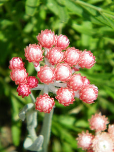 Helichrysum Flower for Youth Renewal