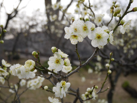 White plum flower