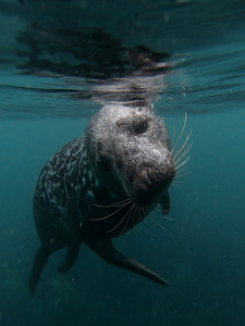 Lundy Island Day Trips - Snorkel with Seals