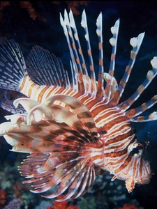 Lion Fish Dive Hair Set