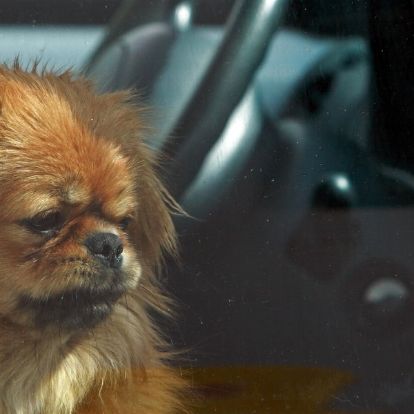 Why It's Important Not to Leave Your Pets in the Car During Hot Summer Months