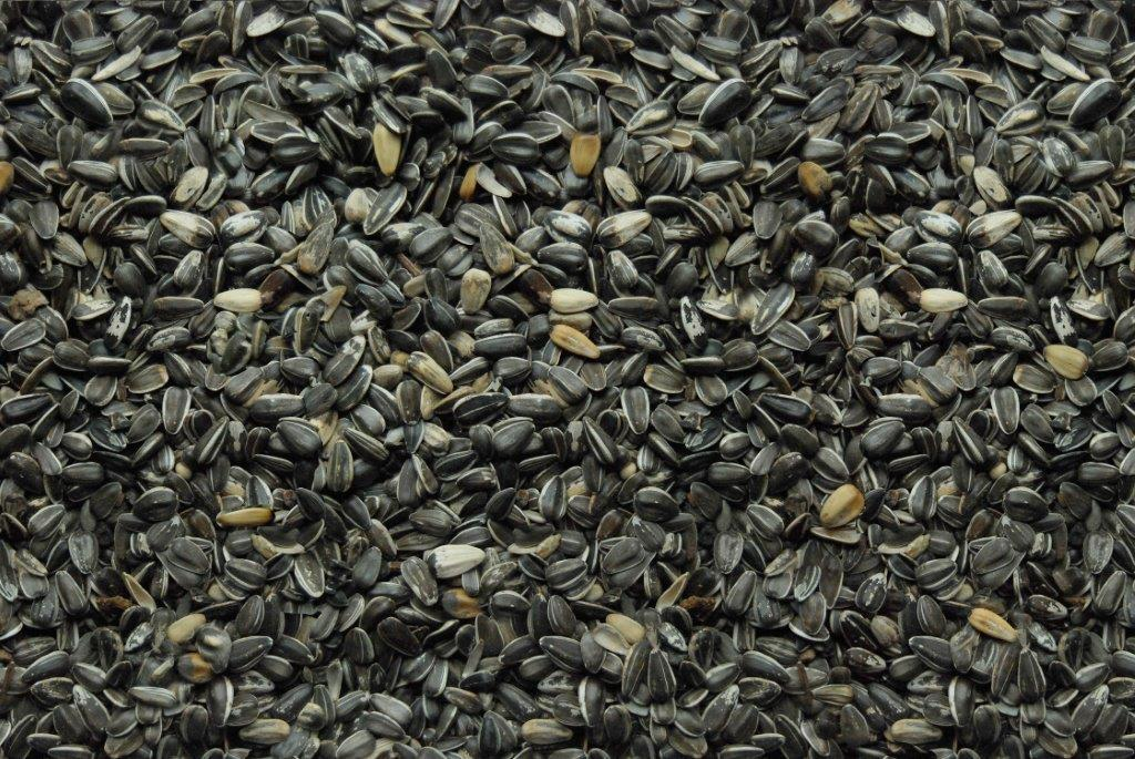 Song of America Stripe Sunflower Seed