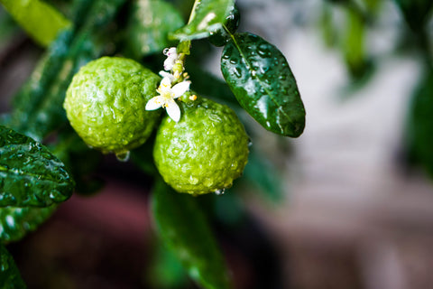 The Benefits of Bergamot Oil