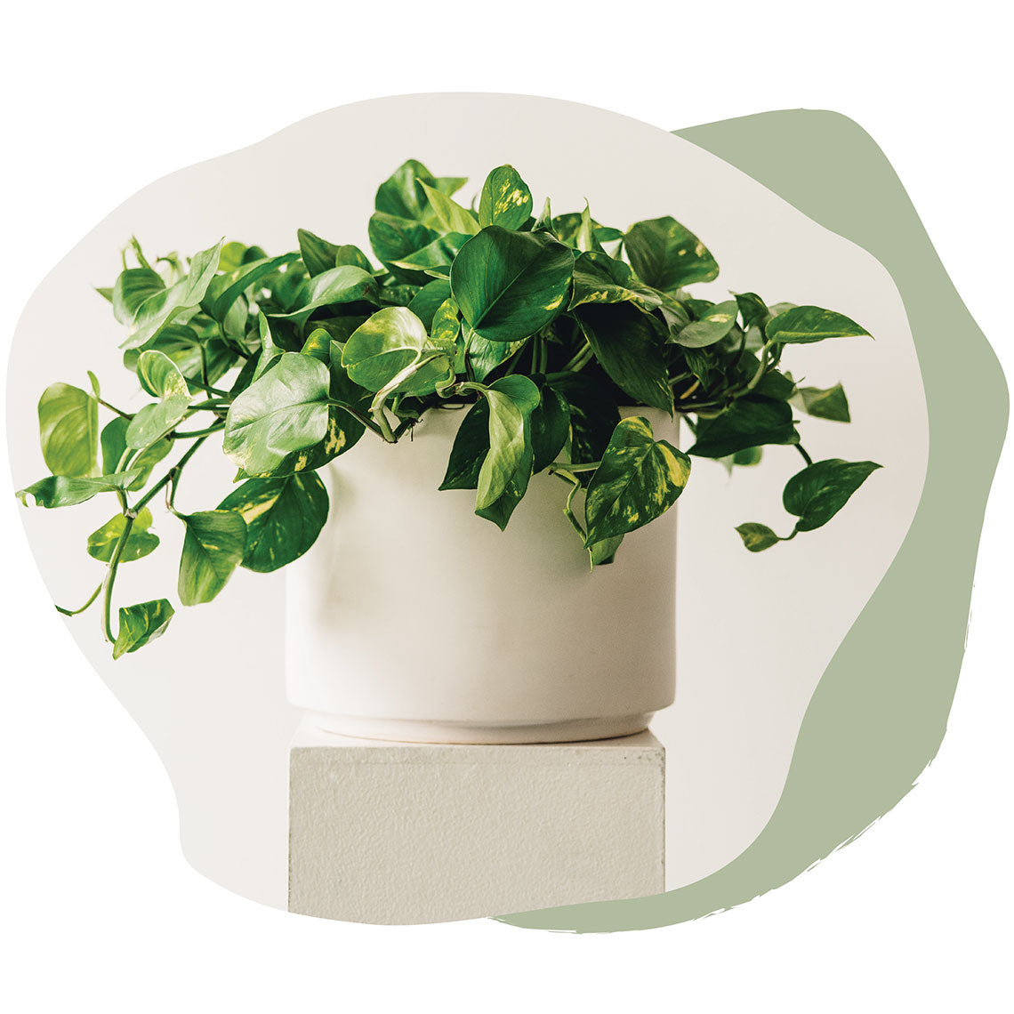 Photo of a pothos plant