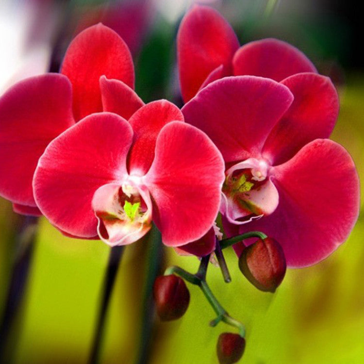 200 PCS/bag Hot Selling Unique Red Phalaenopsis Bonsai Butterfly Orchid Flower Seeds Elegant Flower Plant Ornamental flower