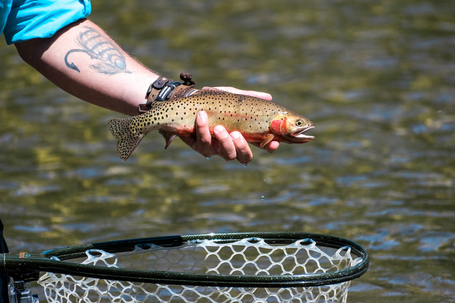 Lake Evelyn: High Alpine Cutthroat