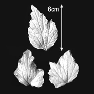 Great Impressions (SK) Leaf Veiners - Anemone-Japanese Tri-lobed 6cm  GM01A006 -04