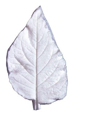Great Impressions (SK) Leaf Veiners - Datura XL 10.5cm. GM01D002-01