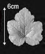 Great Impressions (SK) Leaf Veiners - Tellima, Large 6cm GM01T001-02