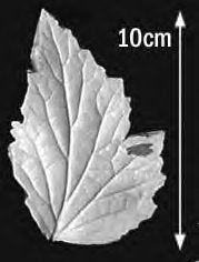 Great Impressions (SK) Leaf Veiners - Anemone-Japanese Bi-Lobed 10cm.  GM01A006 -01