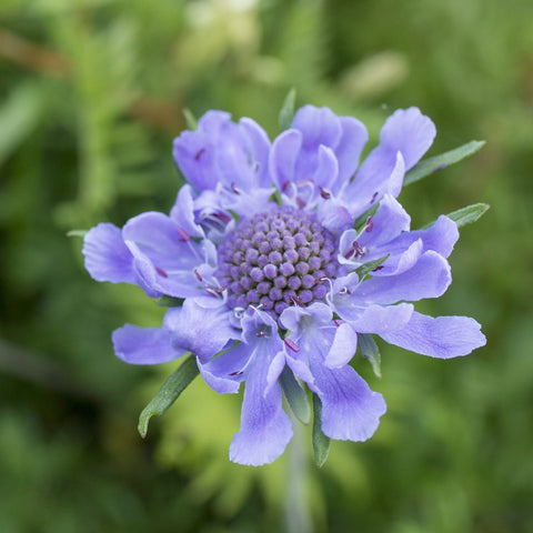 Scabious Video Course by Debbie Bowyer owner of Sugar Floristry