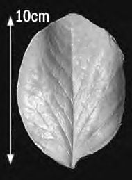 Great Impressions (SK) Leaf Veiners - Protea, Very Large 10cm GM01P013-01
