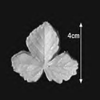 Great Impressions (SK) Leaf Veiners - Strawberry-Wild 4cm GM01S005-02