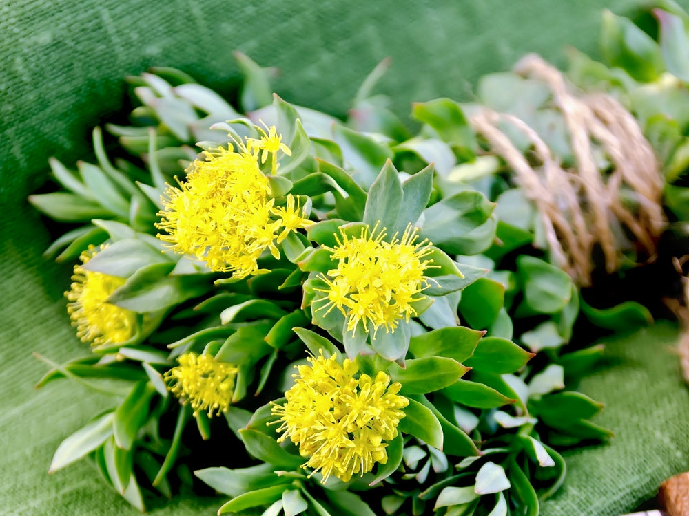 One Root, Multi-System Improvements, Rhodiola Rosea