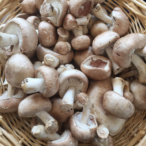 Agaricus Cultures for Commercial Customers
